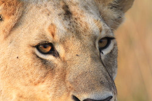 01-Loewin (close up) - lioness - Panthera lio, Masai Mara, August 2013