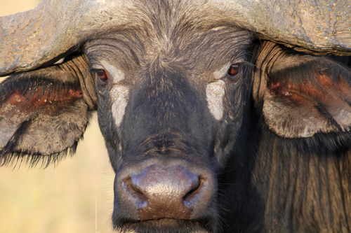 02-Kaffernbueffel (close up) - African buffalo - Syncerus caffer, Masai Mara, August 2013