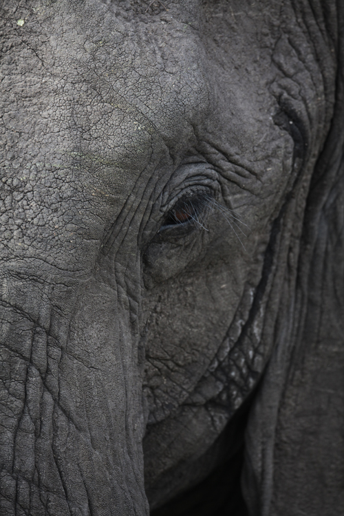 10-Afrikanischer Elefant (close up) - African elephant - Loxodonta africana, Masai Mara, September 2010