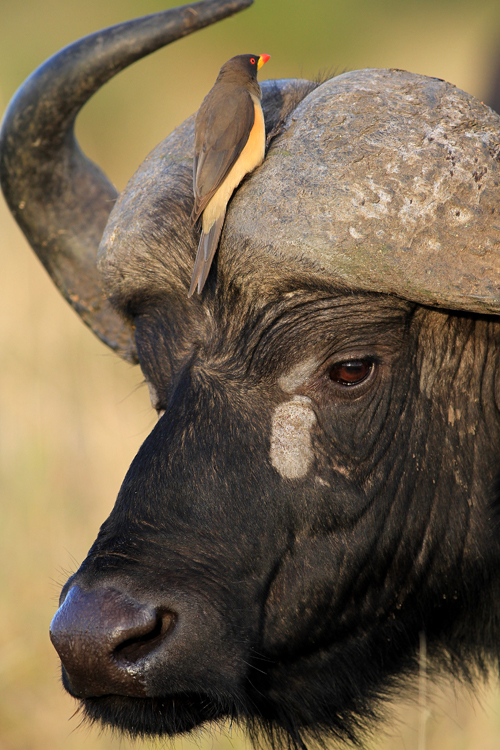 14-Kaffernbueffel  (close up) - African buffalo - Syncerus caffer, Masai Mara, August 2013