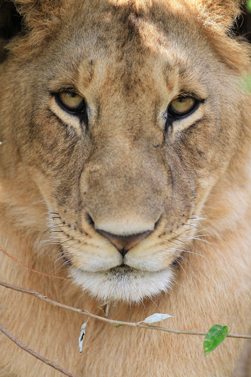 19-Loewe (close up), young lion - Panthera leo, Masai Mara, August 2013