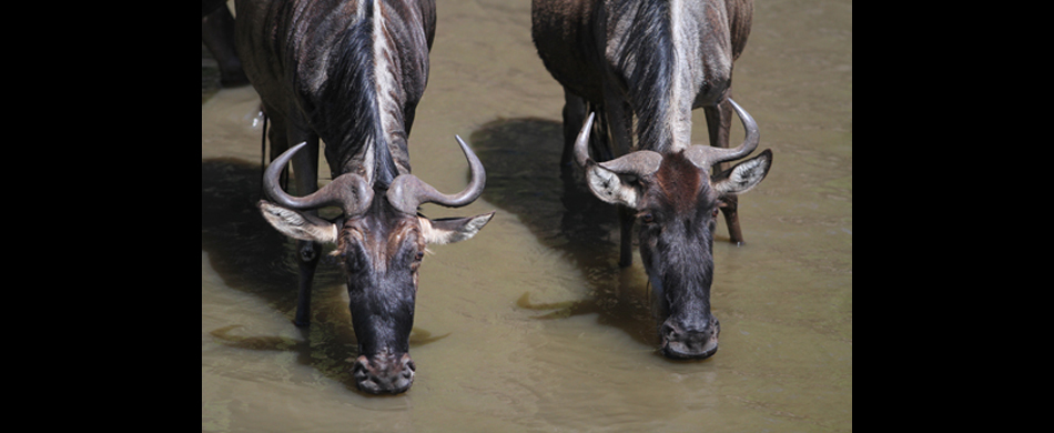 012-gnus am talek river - wildebeests at talek river.jpg