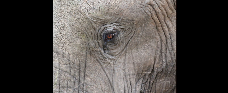 014-afrikanischer elefant (close up ).jpg