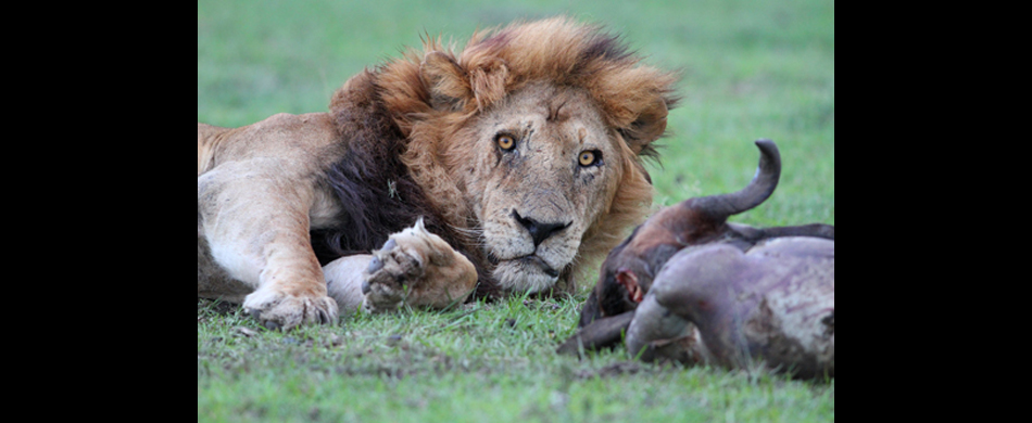 015-loewbe am riss - male lion beside killed wild.jpg